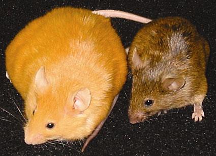 Agouti mice & epigenetics